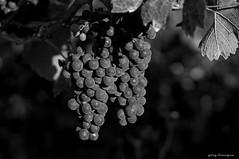 September Grapes...just before the harvest (1/2) (greg luengen) Tags: grapes weintrauben harvest fall autumn herbst blackandwhite blackwhite schwarzweiss nature natur sony sonyalpha nex