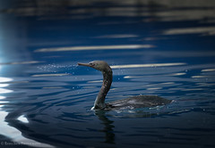 Pelagic Cormorant (rishaisomphotography) Tags: pelagiccormorant water wet drops blue nature naturephotographer wild wildlife wildlifephotography kodiak alaska