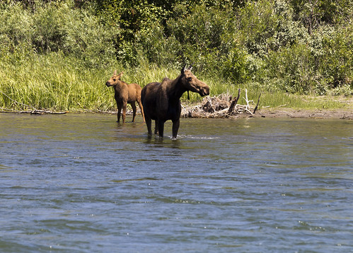 Moose and Calf 1