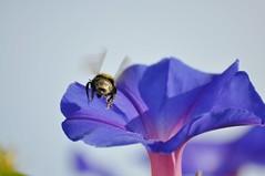 Travel (Pierre-Eloi VIZOT) Tags: pierreeloivizot fleurs flowers abeilles bee fly nature france butiner colors voyage travel photo photography pierreeloi vizot