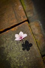 Un souffle de lgret (Calinore) Tags: france nord cerisier spring printemps fleur flower pink rose envol flight light leger legerete