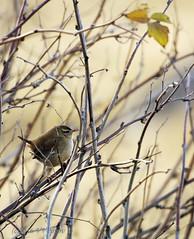 Wren (vvpopov) Tags: troglodytes wren bird animal