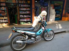 Biker dude dog #2 - Bangkok, Thailand (ashabot) Tags: dog doggie dreamer motorbike thailand bangkok animals cooldog coolanimals cuteanimals cutedog biker game