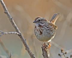 Song Sparrow (Keith Carlson) Tags: songsparrow