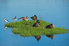 Ahhhhhh, Life Is Good... (Romair) Tags: ducks mallards stilts island cortemaderamarsh bluewater sanfranciscobay rogerjohnson