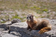 Marmot (GlobalGoebel) Tags: canonef24105mmf4lisusm canoneos5dmarkiii 24105mm marmot wyoming grand teton national park canon eos 5d mark iii 3 rock basking wildlife animal hurricane pass backpacking tetoncresttrail
