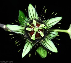 Passiflora xiikzodz MacDougal (Brayan Coral Jaramillo) Tags: peten passiflora guatemala passifloraceae xiikzodz ala murcilago macdougal