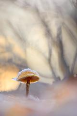 Pilz im Sonnenuntergang (MichaSauer) Tags: pilz mushroom champignon sunset sonnenuntergang makro macro frost stack