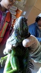 IMG_20151209_145136 (estradelirius) Tags: iguana garrobo