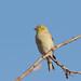 DSC_6300.jpg American Goldfinch, UCSC farm