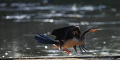 Darter (blachswan) Tags: water victoria ballarat darter birdinflight anhinganovaehollandiae lakewendouree