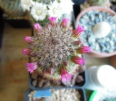 Mammillaria zeilmanniana (Cacti & Succulents) Tags: v mammillaria zeilmanniana albiflora