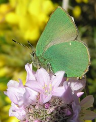 Callophrys rubi -  Thcle ou Thcla de la ronce ou Argus vert - Green Hairstreak - 02/05/12 (Philippe_Boissel) Tags: france europe bretagne insects lepidoptera papillon finistre 075 lycaenidae greenhairstreak pointeduvan callophrysrubi argusvert thcle thcladelaronce