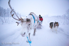 0047 (lesley v) Tags: holiday snow ice finland reindeer husky sweden arctic aurora northernlights january2013 davviarcticlodge