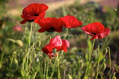 Poppies (brianfarrell) Tags: wild flower green nature floral garden spring natural blossom outdoor korea bloom southkorea jeju cheju