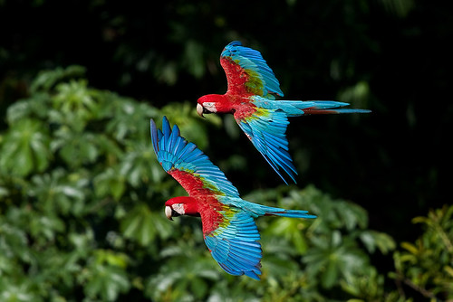 Red-and-green Macaw (Ara chloropterus)