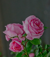 Morning Rose's. (Omygodtom) Tags: pink wild green nature rose nikon 70300mm d7000