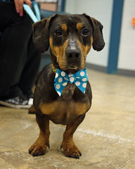 Hot Dog (AbbyB.) Tags: rescue dog bowtie canine dachshund adopt bassethound polkadot mtpleasantanimalshelter