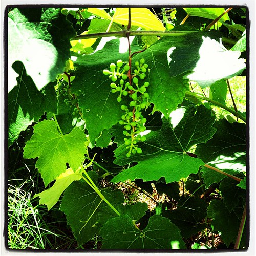 Our first Grapes...