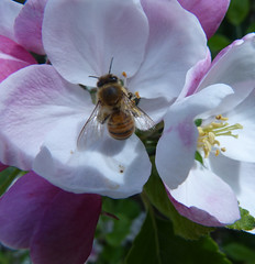 Apple Blossom Time (grahamramsden52) Tags: plant tree insects bee ysp