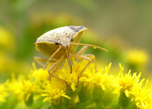 Shield Bug on Goldenrod