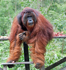 make way...his Lordship is descending (JuttaMK) Tags: camp tom borneo winner orangutan leakey ofi kalimantan 2013 mauekay