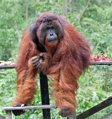 make way...his Lordship is descending (JuttaMK) Tags: camp tom borneo winner orangutan leakey ofi kalimantan 2013 mauekay