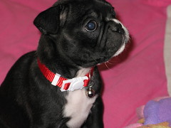 Dolly has a new home (krisjaus) Tags: dogs puppy bostonterrier puppies buddy smalldogs newpuppy bostonterriers babydogs krisjaus danielleeberhart
