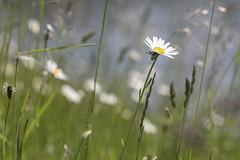 Augenweide (Nitekite) Tags: canon grser blumenwiese margeriten decksteinerweiher sommerblumen grngrtel wildkruter klnslz nitekite
