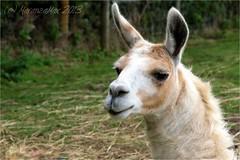 DIVERTISSEMENT. (MaranzaMax) Tags: nature animal outdoor farm country animale bestia fattoria maranzamax nellavecchiafattoria iaiao