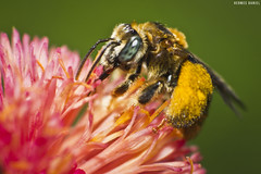Carregando pouco polen hein... (HermesDaniel) Tags: macro nature canon minolta natureza bee abelha re reverse campeche inverselens canont3 canon1100d minolta3570mm35