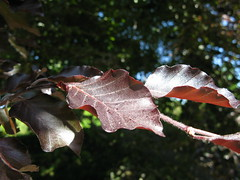 Copper beech leaves (lady.bracknell) Tags: tree leaves liverpool leaf beech copperbeech princespark