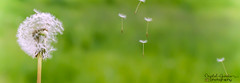 A Wish (Photography By Crystal Garcia) Tags: flowers plants sun white flower green grass oregon wednesday spread interesting weed puff sunny blow dandelion seeds wish float capture wishing wishful pollinate catchycolorsgreen seedlets focuspocus
