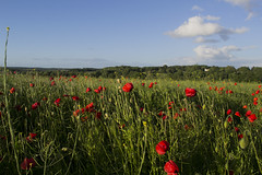 Poppy Field 2 (aperturetom) Tags: nature poppyfield