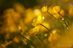 Buttercup Field (jo clegg) Tags: flowers light summer sun flower field yellow canon golden evening warm cornwall buttercup farm meadow ranunculus canon5dmarkii