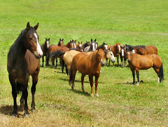 18 Curious Horses (Colorado Sands) Tags: caballo pasture colorado rockymountains westernslope chevaux cheval equine usa america cavallo cavalli cavalos kuda pferde atlar 馬 unitedstates american sandraleidholdt northamerica pitkincounty remuda snowmass paard horse paarden horses animal