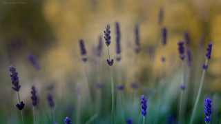 Lavender in the Light of a Late Summer Night