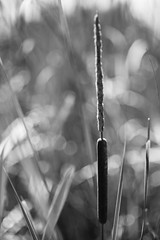 One Down (belleshaw) Tags: blackandwhite plant reed nature point stream decay seeds cattail southcoastbotanicgarden