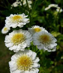 Das Mutterkraut ist auch hart im Nehmen. :-) (happycat) Tags: blume weis tanacetumparthenium wildblume meingarten mutterkraut