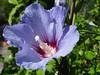 Sunny day! (Gartenzauber) Tags: blue flower macro nature garden sony ngc natur hibiscus blau blume garten hibiskus doublefantasy floralfantasy perfectpetals gartenzauber artonflickr mimamorflowers unitedworldphotographers saariysqualitypictures hennysgardens lovelynewflickr