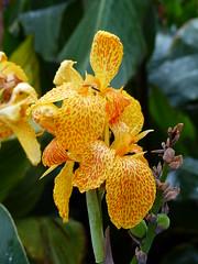 Iris (Gilder Kate) Tags: iris surrey wisley flowershow rhs royalhorticulturalsociety rhsgardenwisley wisleygarden