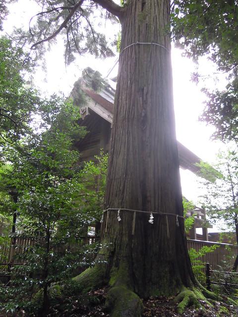 須佐神社(大杉)|須佐神社