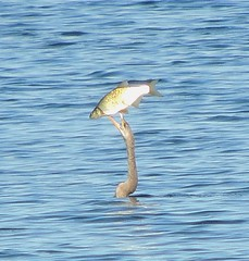 Anhinga & breakfast (Turtlerangler) Tags: orange bird florida anhinga orlandowetlands