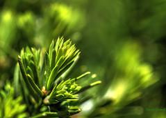 Bokeh - Yew 1 (zendt66) Tags: macro green nature photo nikon bokeh micro yew nikkor okc weekly challenge 105mm d90 zendt66 52weeks2014