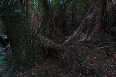 Tarra-Bulga National Park #2 (Jennifer Lea) Tags: wood trees fern green leaves rainforest walk foliage southgippsland