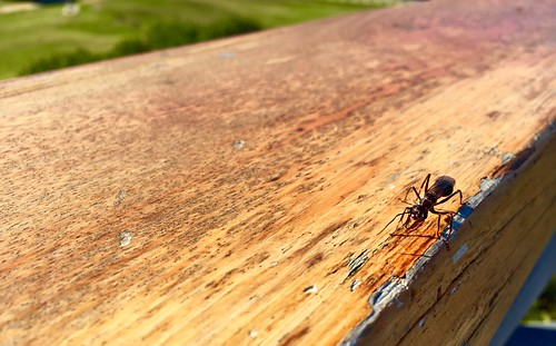 Huge Ant