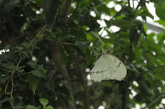white morpho (Marked_man) Tags: life color nature beautiful beauty butterfly bug insect colorful natural conservatory species krohn