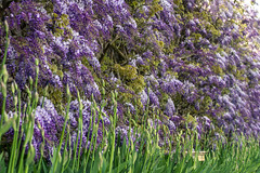 Walled Garden Wisteria, Loseley Park (markhortonphotography) Tags: flower surrey wisteria walledgarden loseleyhouse loseleypark