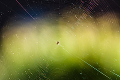 web (Sicong (OFF for a while)) Tags: nature spider dof bokeh web sony a6000 sal135f18za sonnart18135