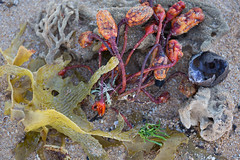 T92A9756 (Alex E. Proimos) Tags: ocean seaweed beach water coast sand north australia nsw